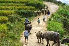 Lao Cai, Vietnam - 7. September 2017: Landstraße mit den Wasserbüffeln, die nach Hause unter terassenförmig angelegtem Reisfeld i Lizenzfreie Stockfotos
