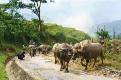 Lao Cai, Vietnam - 7. September 2017: Landstraße mit den Wasserbüffeln, die nach Hause unter terassenförmig angelegtem Reisfeld i Stockbilder