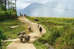 Lao Cai, Vietnam - 7. September 2017: Landstraße mit den Wasserbüffeln, die nach Hause unter terassenförmig angelegtem Reisfeld i Stockbild
