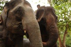 Lao Elephants nahe Pak Ou Caves lizenzfreie stockbilder