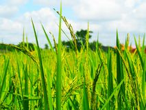 Lao Rice field stock photography