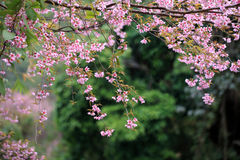 Lao sakura in winter season Royalty Free Stock Image