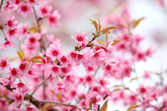 Lao sakura in winter season Stock Images