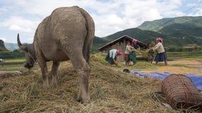 LAOCAI,越南, 6月10日:工作在米fi的未认出的农夫 免版税图库摄影