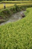 LAOCAI,越南, 6月10日:未认出的yong男孩和水牛在ri 库存照片