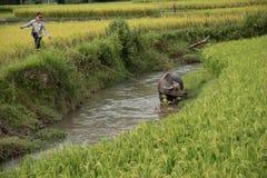 LAOCAI,越南, 6月10日:未认出的yong男孩和水牛在ri 库存图片