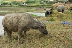 LAOCAI, ΒΙΕΤΝΆΜ, ΣΤΙΣ 10 ΙΟΥΝΊΟΥ: Μη αναγνωρισμένοι αγρότες που εργάζονται στο FI ρυζιού Στοκ φωτογραφία με δικαίωμα ελεύθερης χρήσης