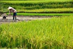 LAOCAI, VIETNAM, EL 11 DE JUNIO: Granjeros no identificados que trabajan en el arroz fi Imagen de archivo