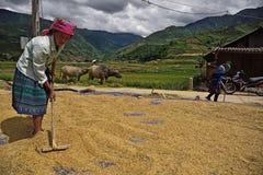 LAOCAI, VIETNAM, EL 10 DE JUNIO: Granjeros no identificados que trabajan en el arroz fi Fotos de archivo