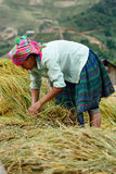 LAOCAI, VIETNAM, JUN 10: Unidentified farmers working in rice fi Royalty Free Stock Photography