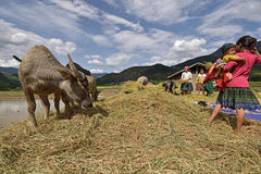 LAOCAI, VIETNAM, JUN 10: Unidentified farmers working in rice fi Stock Images