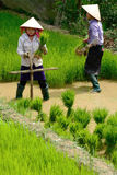 LAOCAI, VIETNAM, JUN 10: Unidentified farmers working in rice fi Stock Photos