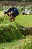 LAOCAI, VIETNAME, O 10 DE JUNHO: Criança e fazendeiros não identificados no arroz fi Fotos de Stock Royalty Free