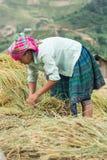 LAOCAI, VIETNAME, O 10 DE JUNHO: Fazendeiros não identificados que trabalham no arroz fi Imagens de Stock