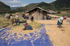 LAOCAI, VIETNAME, O 10 DE JUNHO: Fazendeiros não identificados que trabalham no arroz fi Foto de Stock