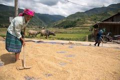 LAOCAI, VIETNAME, O 10 DE JUNHO: Fazendeiros não identificados que trabalham no arroz fi Fotografia de Stock