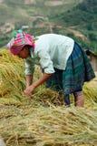LAOCAI, VIETNAME, O 10 DE JUNHO: Fazendeiros não identificados que trabalham no arroz fi Fotografia de Stock Royalty Free