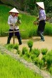 LAOCAI, VIETNAME, O 10 DE JUNHO: Fazendeiros não identificados que trabalham no arroz fi Fotos de Stock