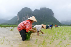 Laos farmers're transplant rice seedlings Royalty Free Stock Image