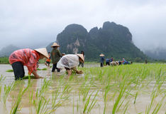 Laos farmers're transplant rice seedlings Royalty Free Stock Photos