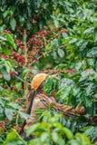 Laos Girl is harvesting coffee berries in coffee farm on Bolaven Plateau, a coffee grower`s utopia. Champasak, Laos. Organic stock photo