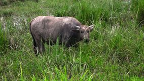 Asian buffalo in the field stock images