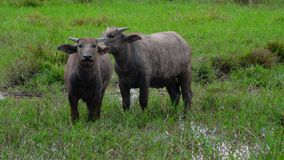 Asian wild buffaloes in the field stock image
