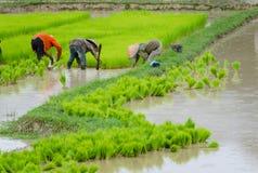 Laos-Landwirt, der auf dem Ackerland des ungeschälten Reises pflanzt Lizenzfreie Stockfotos