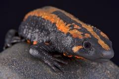 Laos warty newt (Laotriton laoensis) Stock Photos