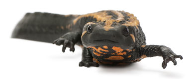 Laos Warty Newt, Paramesotriton laoensis Royalty Free Stock Photography