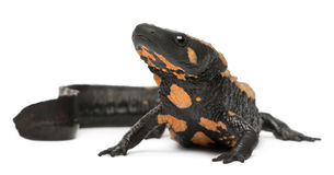 Laos Warty Newt, Paramesotriton laoensis Royalty Free Stock Photo