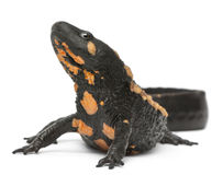 Laos Warty Newt, Paramesotriton laoensis Royalty Free Stock Photos