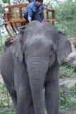 Laotisk asiatisk kvinnlig elefant Pdr 3 Royaltyfri Foto