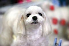 Lap dog Royalty Free Stock Photography
