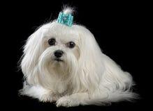Lap-dog. Maltese dog isolated on the black background Royalty Free Stock Photography
