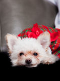 Lap dog. Small female lap dog wearing a red dress, face closeup Royalty Free Stock Image