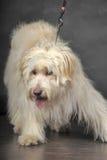 Lap-dog Stock Images