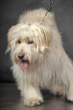 Lap-dog. Bichon white crossbreed in the studio Royalty Free Stock Photos