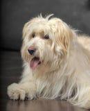 Lap-dog. Bichon white crossbreed in the studio Stock Photography