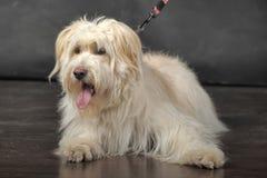 Lap-dog Royalty Free Stock Image