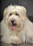 Lap-dog stock image