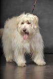 Lap-dog. Bichon white crossbreed in the studio Stock Image