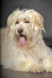 Lap-dog. Bichon white crossbreed in the studio Stock Photos