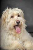 Lap-dog Stock Photos