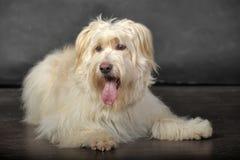 Lap-dog Royalty Free Stock Photography
