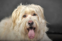 Lap-dog. Bichon white crossbreed in the studio Royalty Free Stock Images