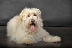 Lap-dog Stock Photography