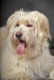 Lap-dog. Bichon white crossbreed in the studio Stock Photo