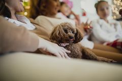 Lap Dog At Christmas. Toy poodle dog is relaxing with her family at christmas time. It is sitting on someones knee in the living room of their home Royalty Free Stock Photo