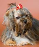 Lap-dog dans le studio images stock